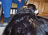 Dog having an acupuncture session